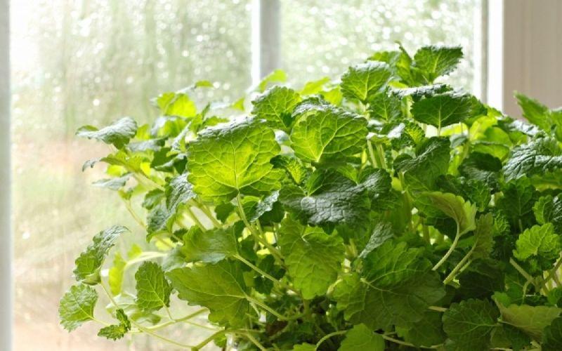 Δείτε με ποια φυτά θα διώξετε τα κουνούπια