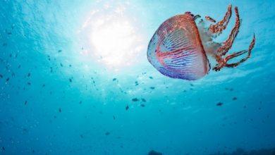 Τσίμπημα από τσούχτρα στην θάλασσα: Πως να εξουδετερώσετε το δηλητήριο